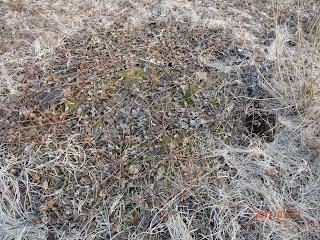 Ancienne place à feu dans une zone débroussaillée propice aux morilles