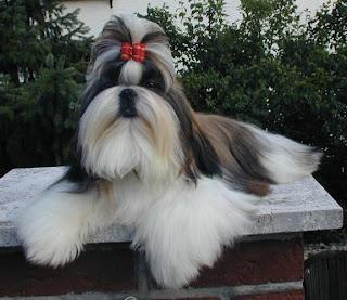 cachorro da china
