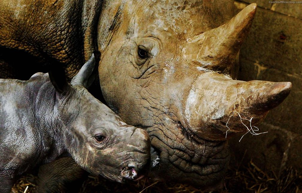 Newborn baby white rhino with mom