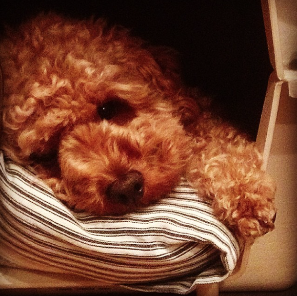 cute red poodle is cuddling with his pillow