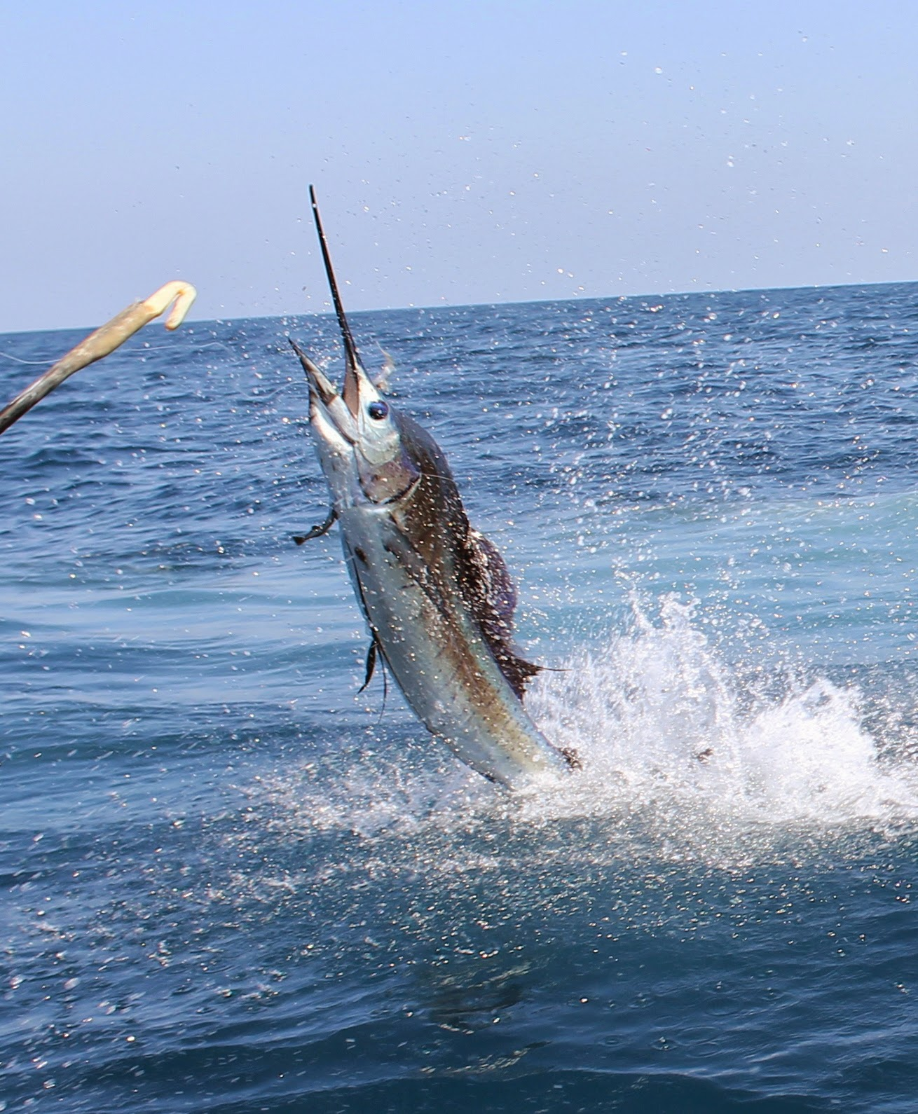 Sailfish jumping high - photo#5