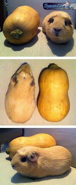 funny guinea pig picture