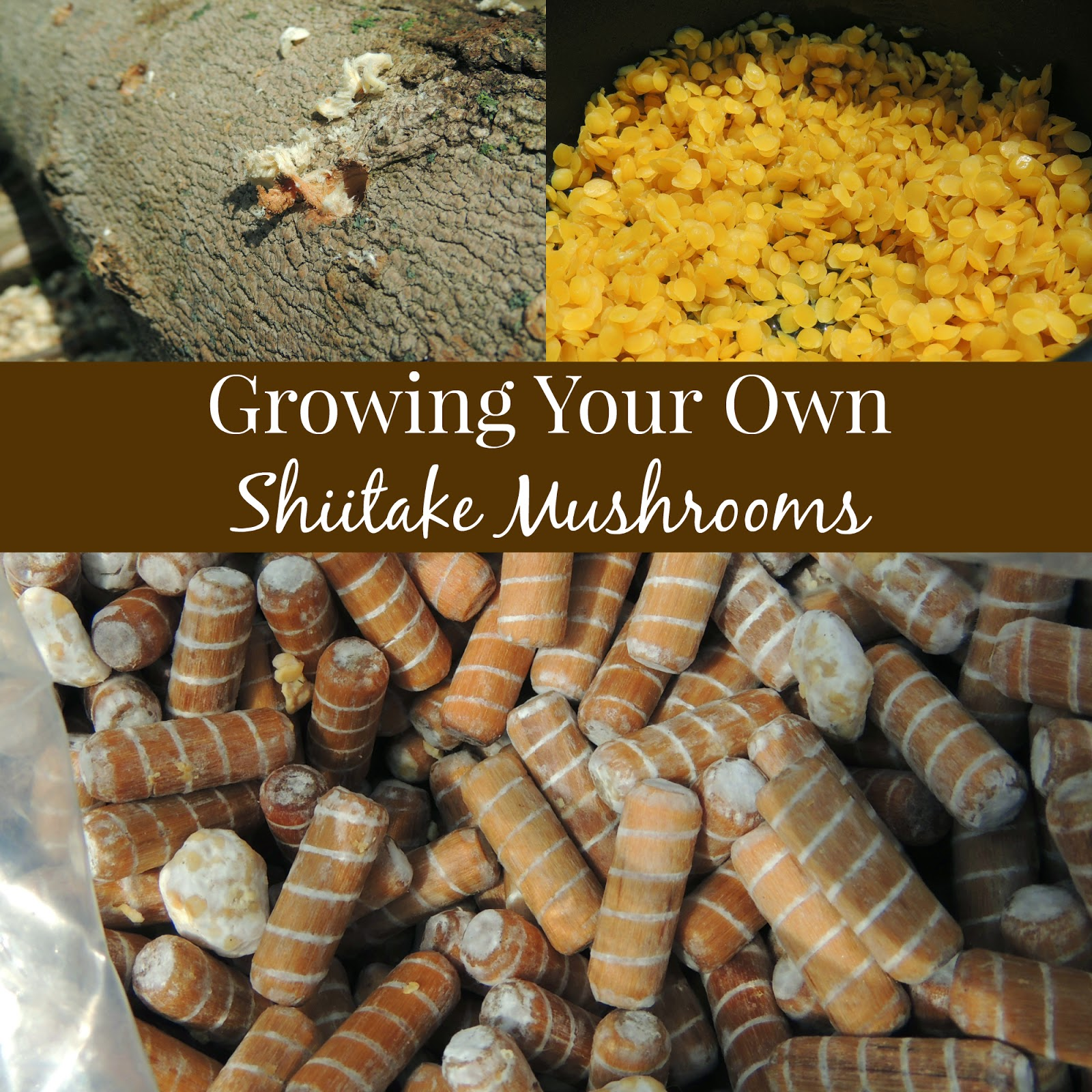 linn acres farm growing your own shiitake mushrooms
