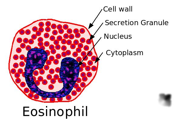Basophil Diagram Aidan... With Eos: Wha...