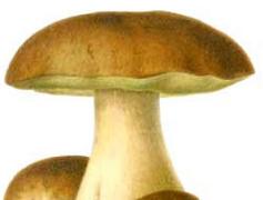 Sfaturi despre alegerea ciupercilor comestibile