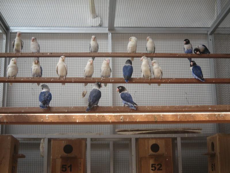 Jendela Hewan Usaha Ternak Lovebird Koloni