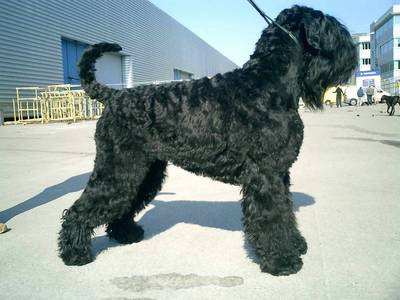 Black Russian Terrier (BRT) Pictures
