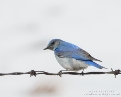 Female Mountain Bluebird on a wire - softer, grayer. Photo © Shelley Banks, all rights reserved.