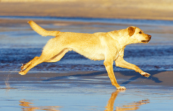 Labrador corriendo