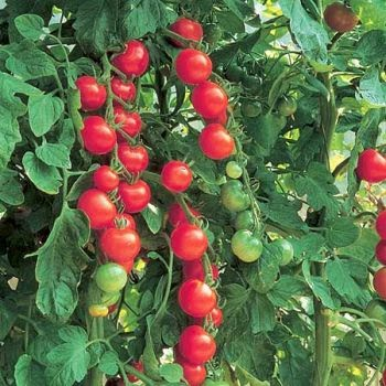 how to help tomatoes grow