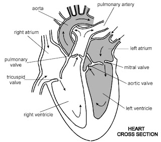 healthy human heart drawing Human Heart Drawing Black And White