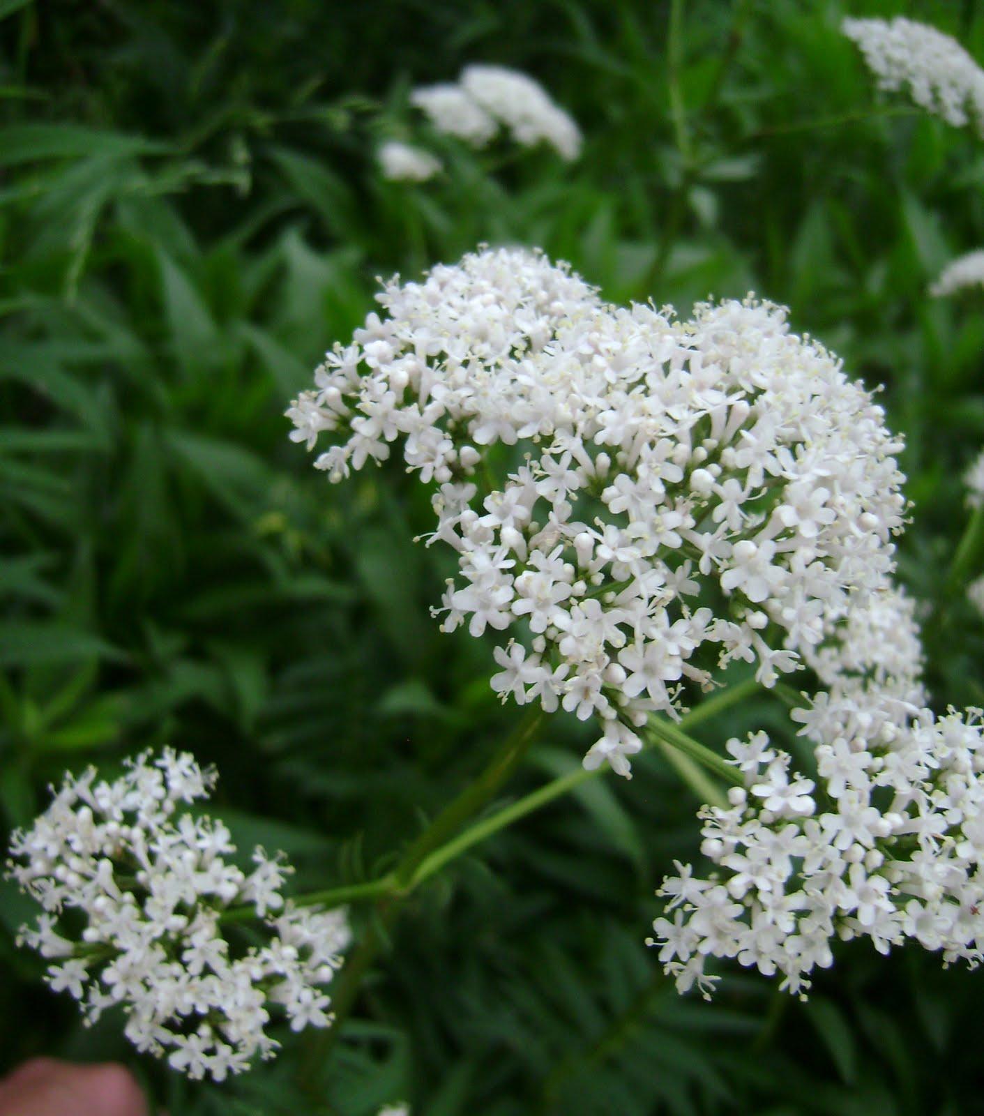 Native Flowers Of Illinois - Flower
