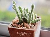 http://finfingarden.blogspot.com/2014/12/oopuntia-microdasys-albispina-cactus.html