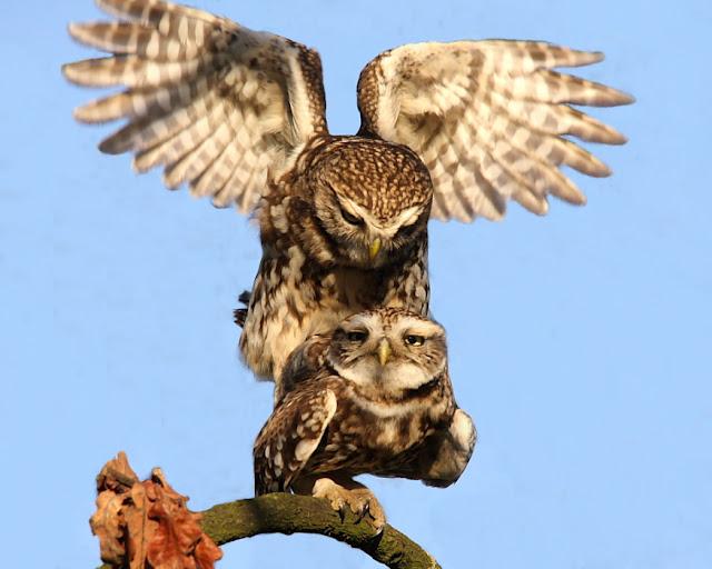 owl mating   My HD Animals