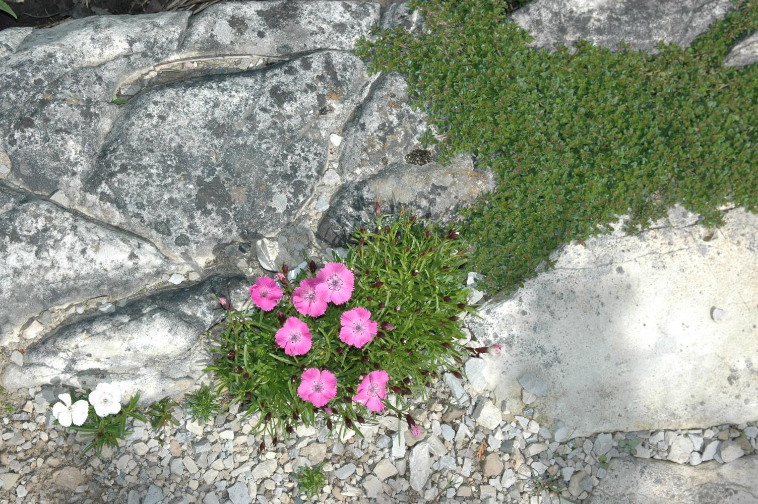 Alpine Pinks