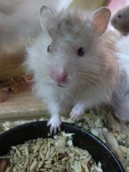 Hamster Syrian Socola