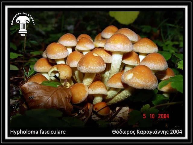Hypholoma fasciculare (Huds.) P. Kumm.