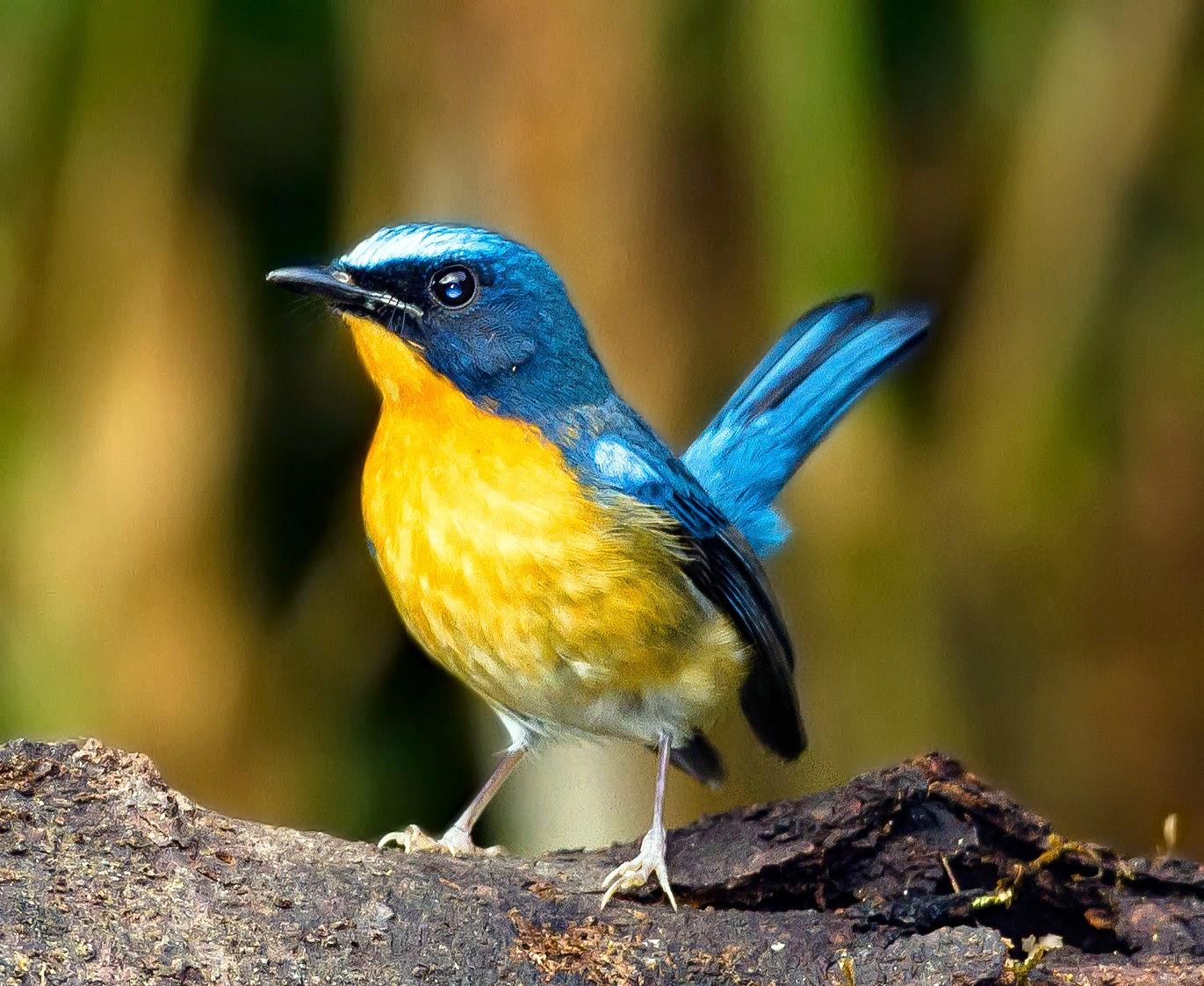 Foto Burung Tledekan Terbaik