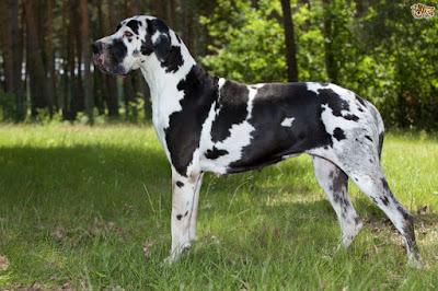 Origen perro gran Danés