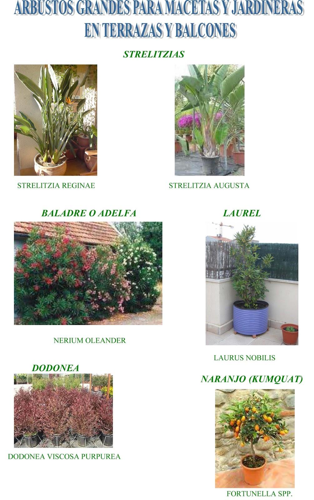 Jara jardiner a y paisajismo arbustos grandes para for Arbustos para macetas exterior