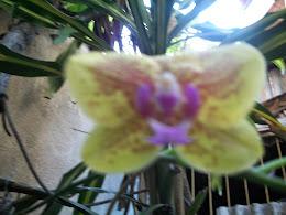 Da primeira orquídea a gente nunca esquece...