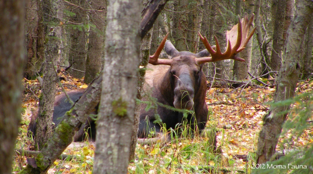 A plump moose buck lounges on Autumn afternoon.