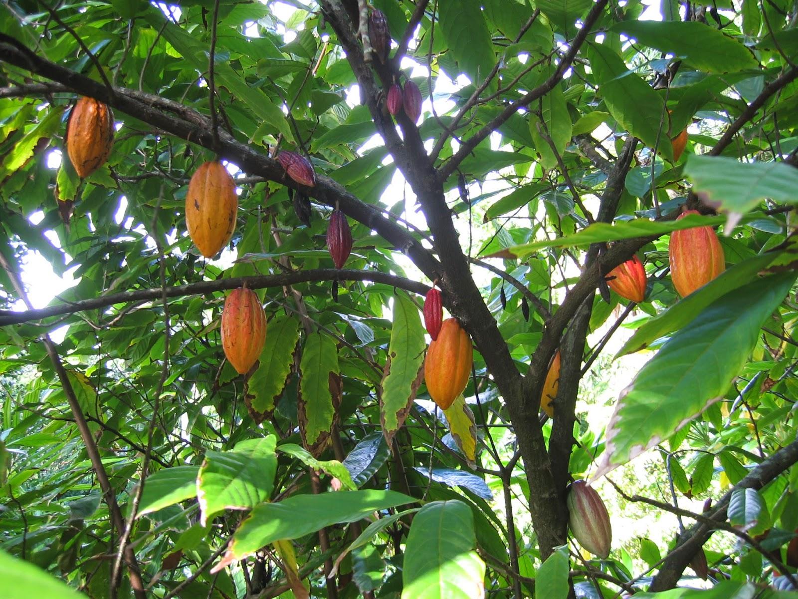animales y plantas de per cacao theobroma cacao patrimonio natural de per. Black Bedroom Furniture Sets. Home Design Ideas
