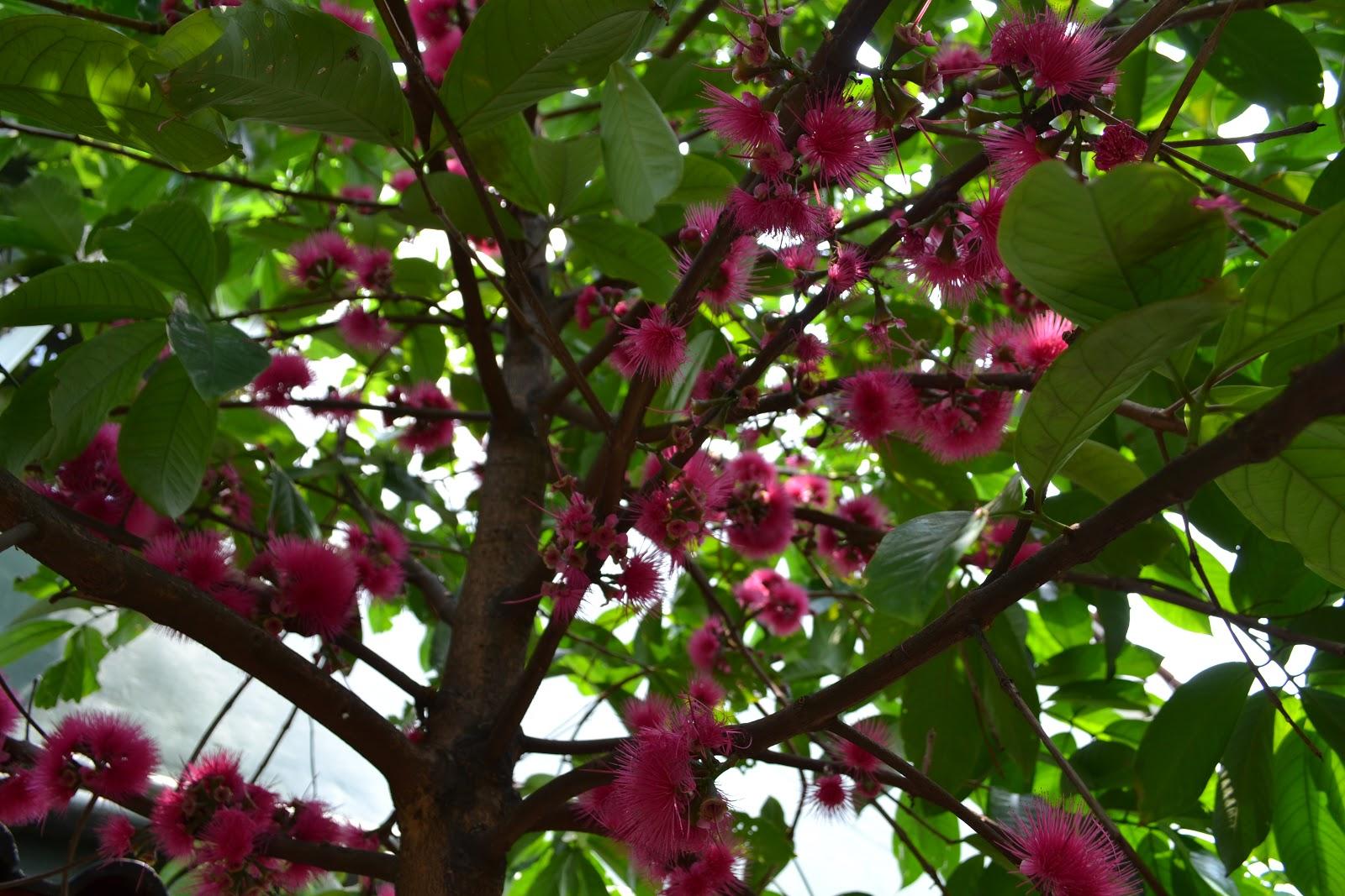 bunga dan buah pohon jambu bol batikbesurekcom