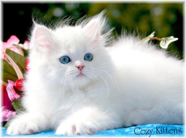 wallpaper kucing lucu. wallpaper kucing lucu