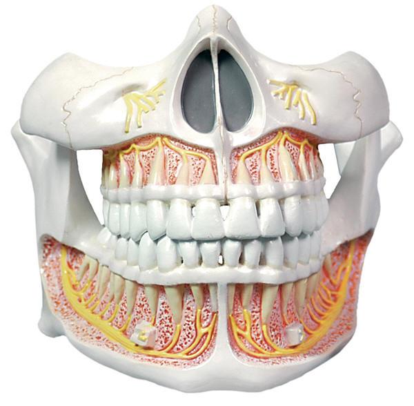 Human Teeth Anatomy