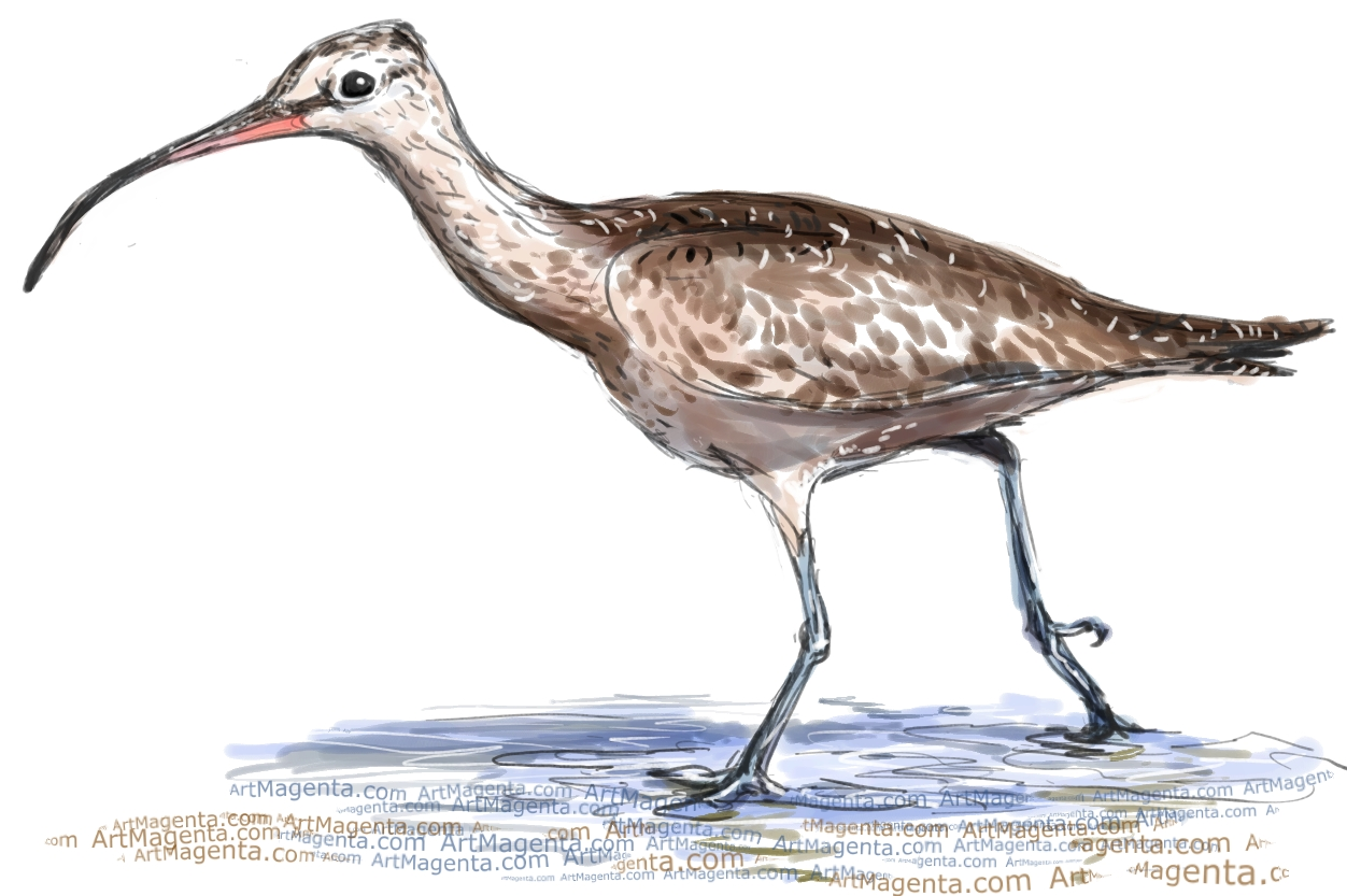 Whimbrel sketch painting. Bird art drawing by illustrator Artmagenta