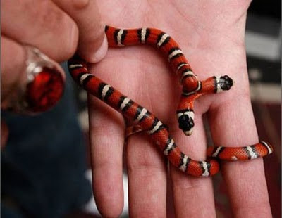 two headed snakes 20