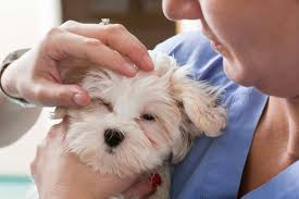 Conjunctivitis in Dogs: Treatment and Cure
