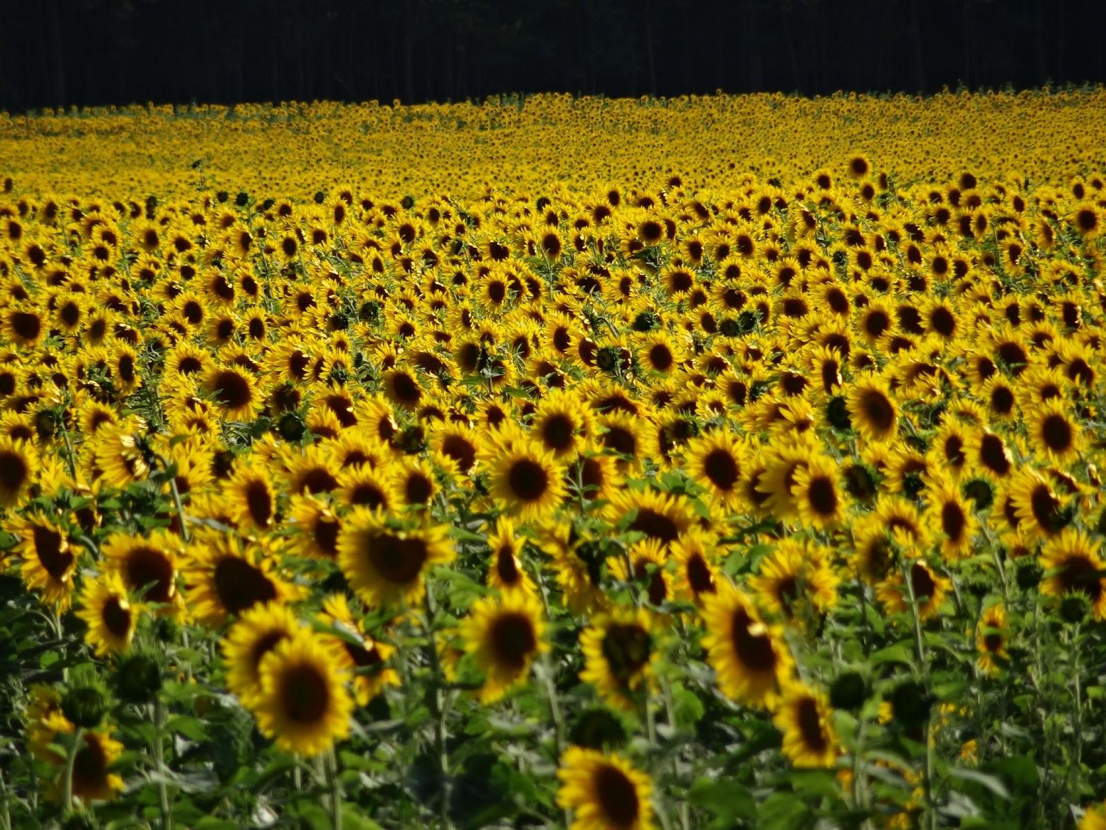 sunflower field near forest