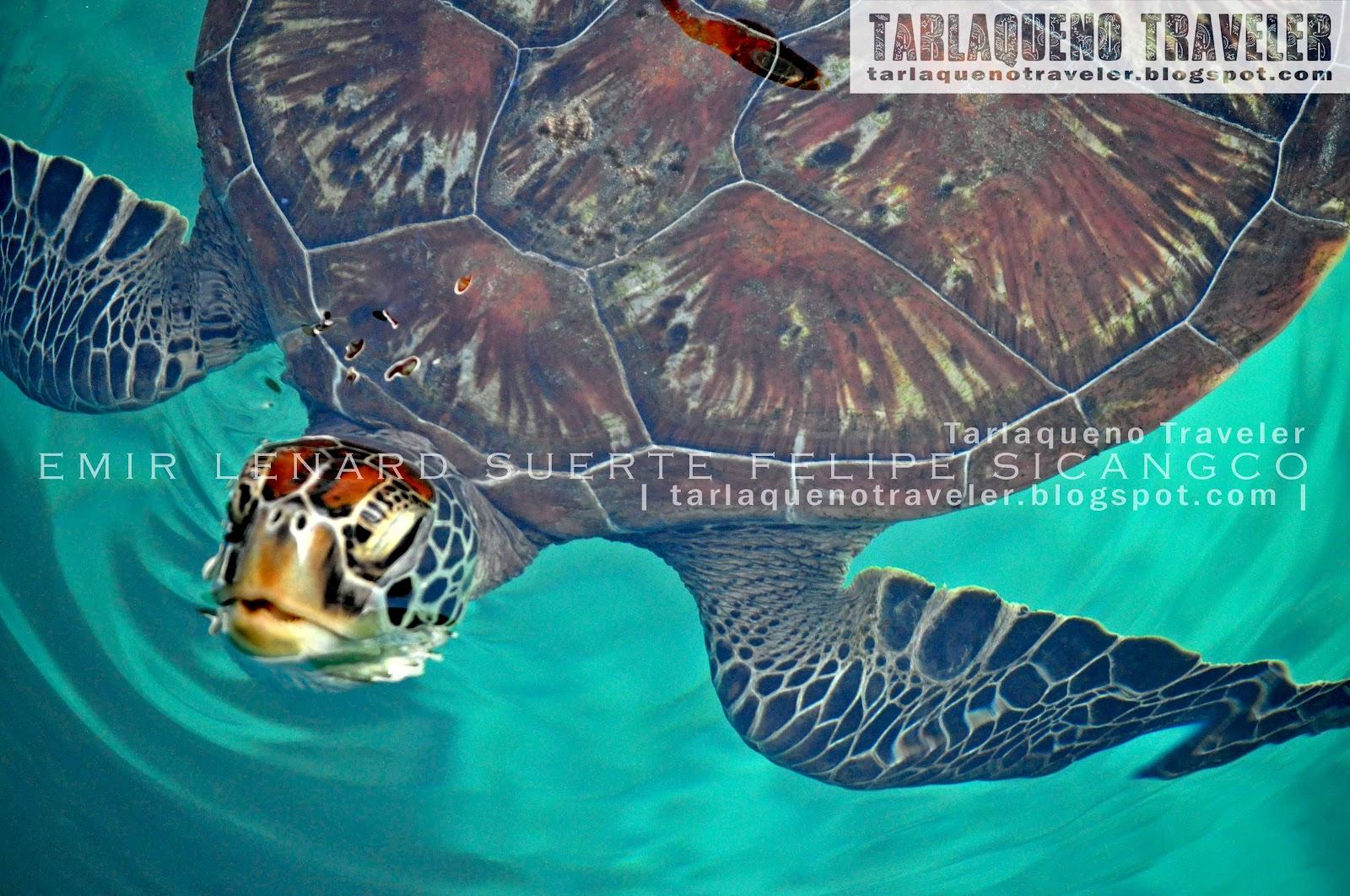 Turtle at Hidden Island Resort