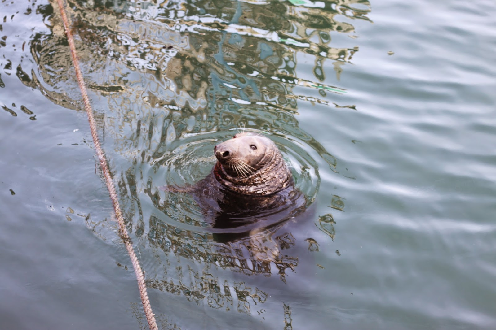 seals in dublin in the howth harbour