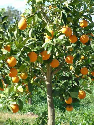 oranges plant