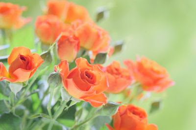 Wallpaper de rosas color naranja para tu pc y laptop - Fondos de rosas para computadora