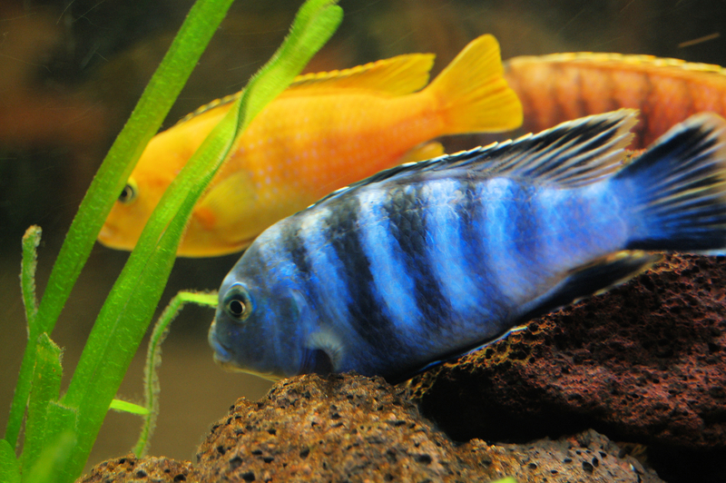 Cichlid Types of fish aquarium