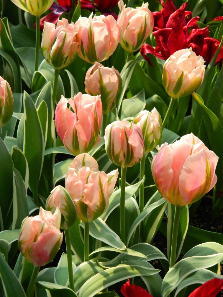 Green Wave Parrot tulips Centennial Park Conservatory 2015 Spring Flower Show by garden muses-not another Toronto gardening blog