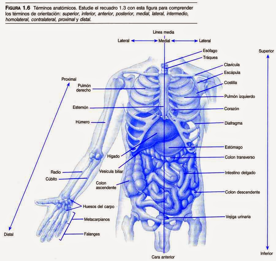 ANATOMIA: Posición Anatómica