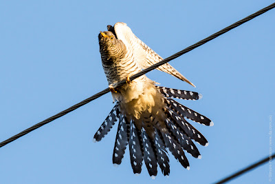 Кукушка. Зозуля. Cuckoo. Cuculus canorus