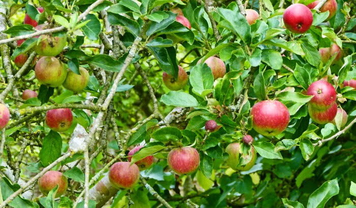 Worcester apples, Lackock, orchard