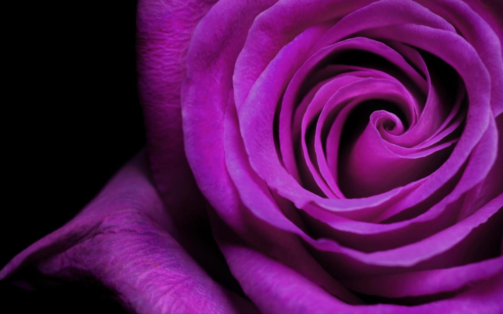 Роза фиолетовая значение
