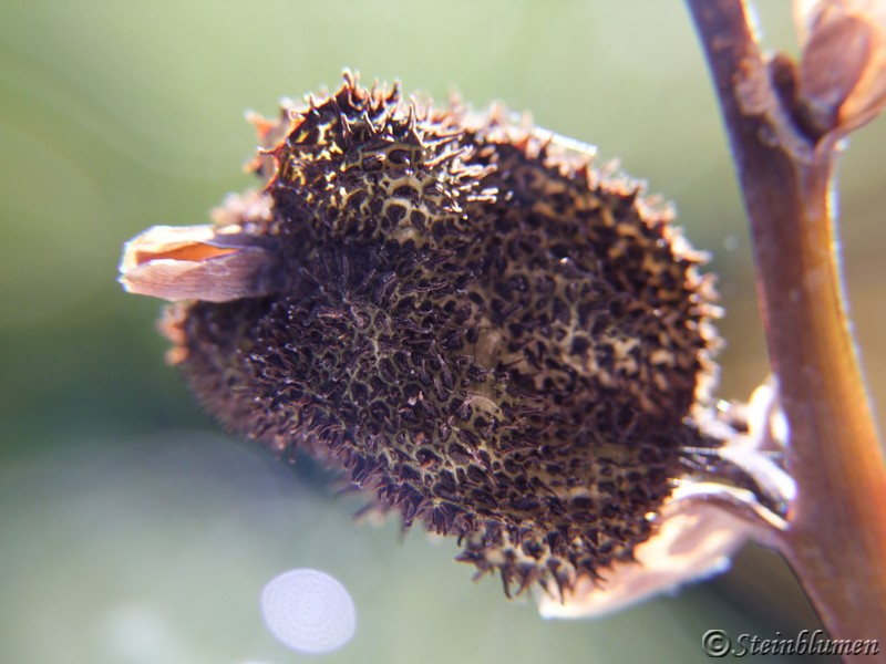 Blumenrohr Samen