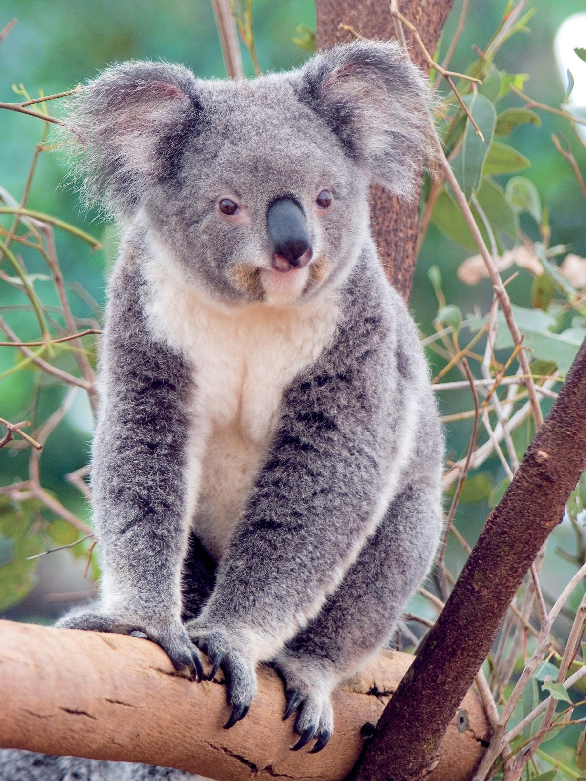 koala animal interesting facts latest pictures all wildlife photographs. Black Bedroom Furniture Sets. Home Design Ideas