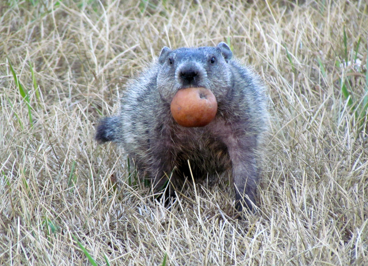 Uncategorized Woodchuck Video groundhog diet images reverse search filename woodchuck eating apple mtodd small version jpg
