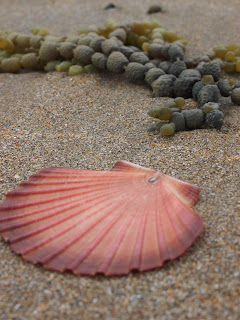 shells at Waiheke Island