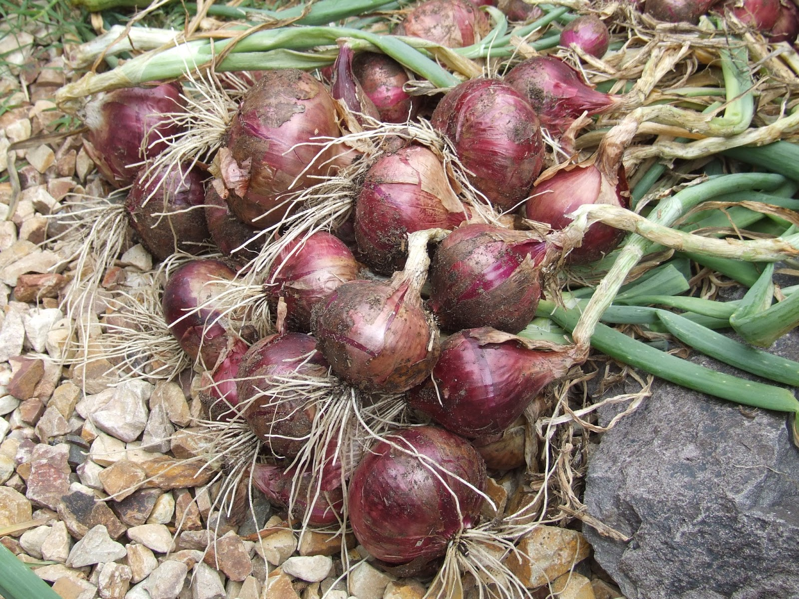 how to grow onions Familiar bulb onions are easy to cultivate as long as you plant varieties adapted to your climate, and you can expand your onion season by growing leeks, scallions, and other non-bulbing varieties.