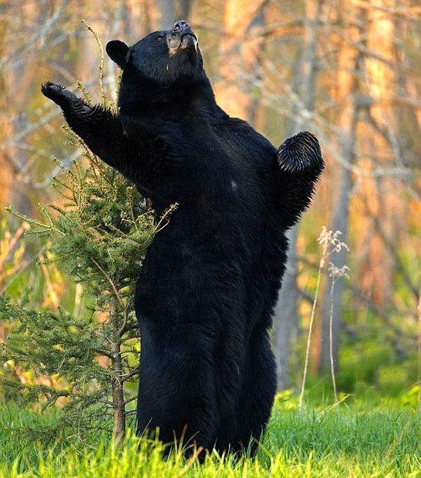 Funny animals of the week - 5 April 2014 (40 pics), funny black bear